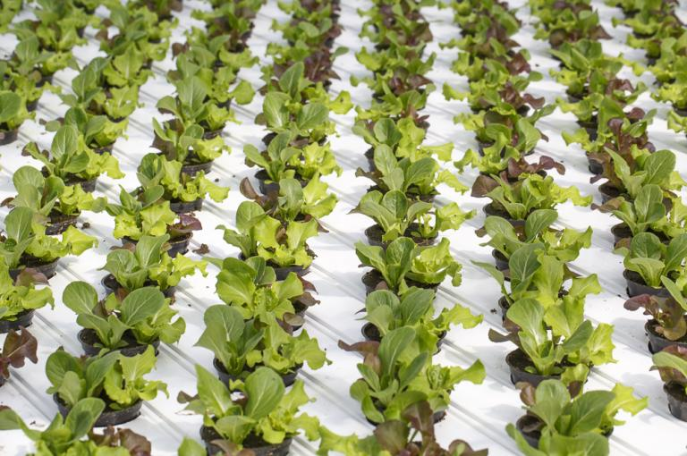 Hydroponics culture of lettuce
